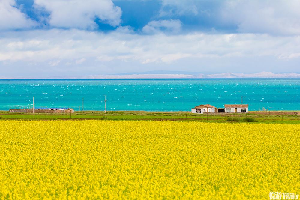 7月份的青海湖边有大片油菜花,黄色的花海和一望无际的蓝.