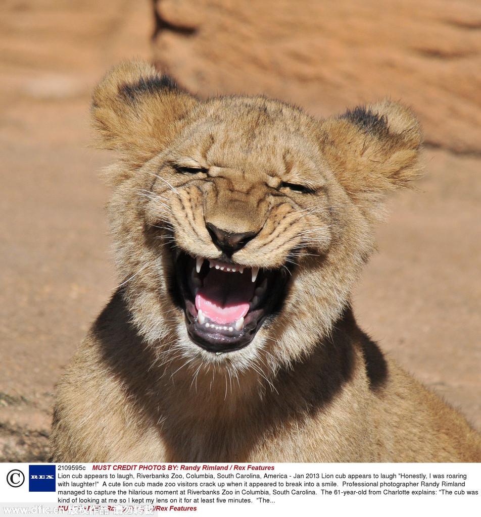 摄影师randy rimland在河堤动物园拍到一头小狮子开心大笑的场面,让