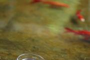 能和酸木瓜抗衡的,应该要数梅子酒了。洱海梅子最负盛名,家家都会自酿梅酒,梅子酒分不同的度数,不胜酒...