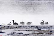 几只天鹅在新疆和静县巴音布鲁克湿地嬉戏。冬至前夕的新疆和静县巴音布鲁克草原披上了一层层银装,在阳光...