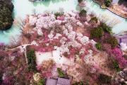 杭州西溪西溪湿地梅花总体开花率在50%左右,其中,江梅已进入盛花期,朱砂、宫粉和绿萼也已开了三到五成...
