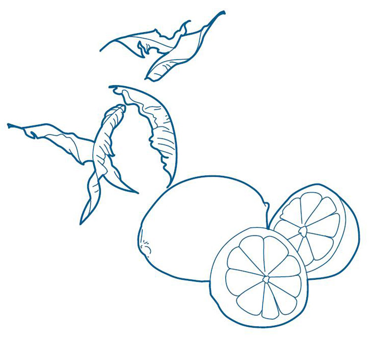 柠檬茶树 澳洲 手绘
