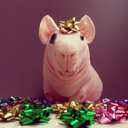 一只无毛豚鼠的圣诞写真