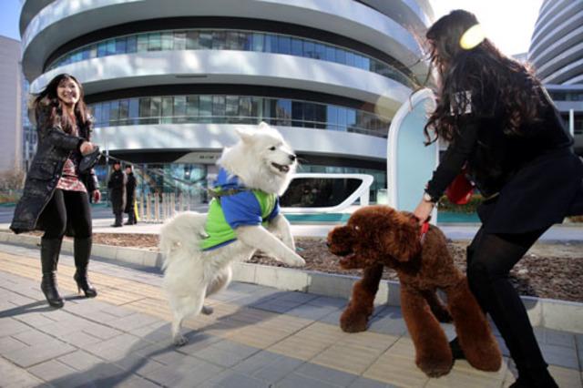 12月3日,北京银河soho写字楼下,一群时尚靓丽的年轻女孩遛狗的身影成为寒风中一道亮眼的风景,引起众人围观。据悉,该美女遛狗团是看到近日北京集市商贩当街杀狗的新闻而临时组建的,这群爱狗的姑娘以快闪遛狗的形式,抵制商贩对狗狗伤害杀戮的行为,向社会呼吁尊重每一个平等生命。 美女遛狗团由五名年轻漂亮的女孩组成,她们不约而同选择了美丽冻人的短裙丝袜造型,加上几只不同类型的宠物犬,这个美女团走在街头回头率相当高。一位自称遛女郎的狗主人表示,带自己的巨型贵妇来参加今天的活动,既开心又无奈:开心的是