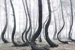 波兰神秘树林惊现成片弯曲松树