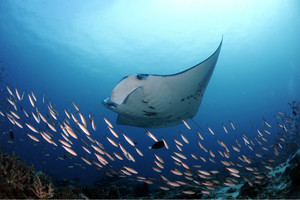 宝齐莱推出188枚限量腕表 全力支持魔鬼鱼基金会保育计划