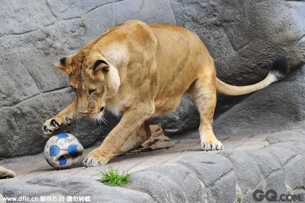 2014年5月15日,德国汉堡,哈根贝克动物园举行动物世界杯。