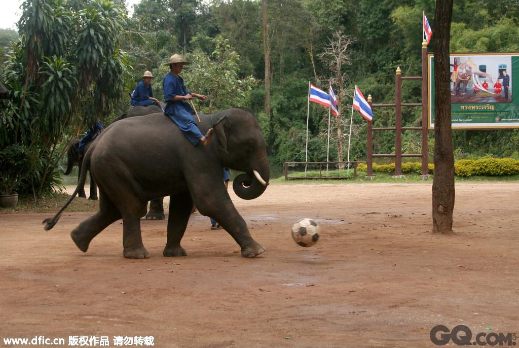 2009年3月20日,泰国清迈,湄沙象训学校的大象,这些大象或是老了或是曾经被虐待,如今不再吃苦受累,在这里从事为游人表演的工作。