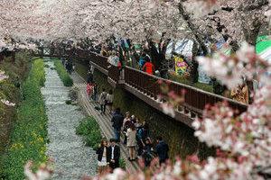 春天全球看樱花